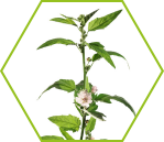 Eibisch (Althaea officinalis)